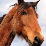 horse_head2